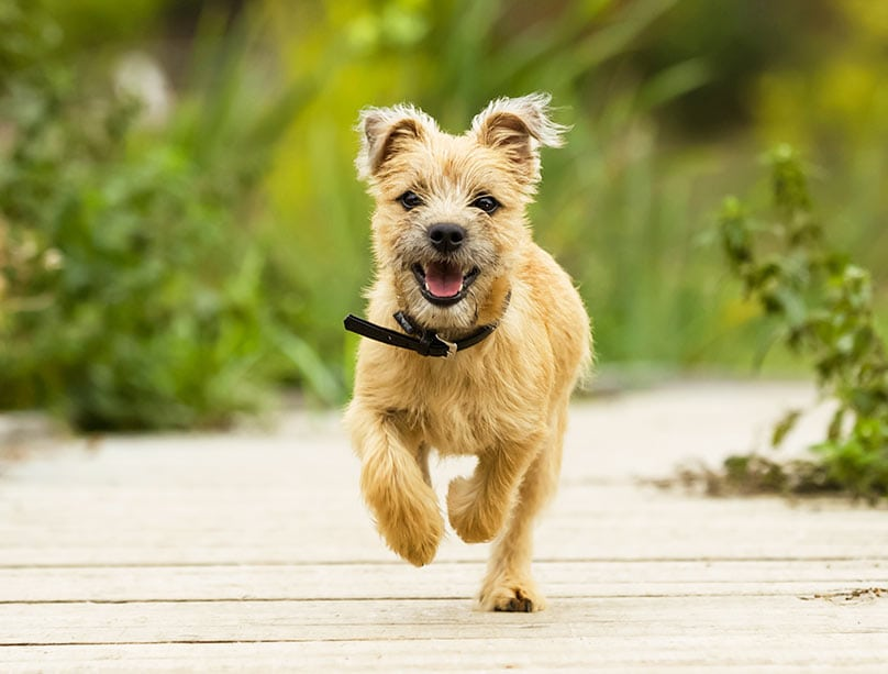 Cairn Terrier puppy walking on boardwalk