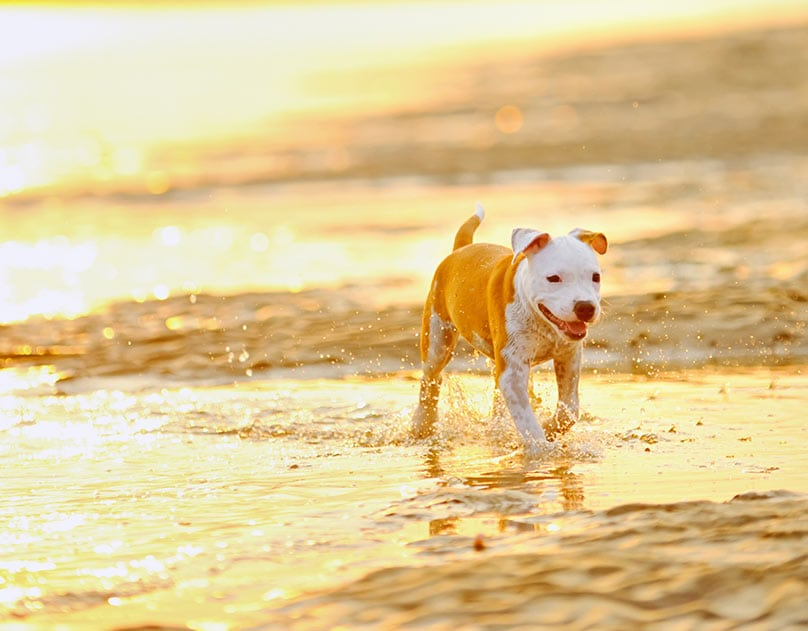 American Staffordshire Terrier walking in beach water