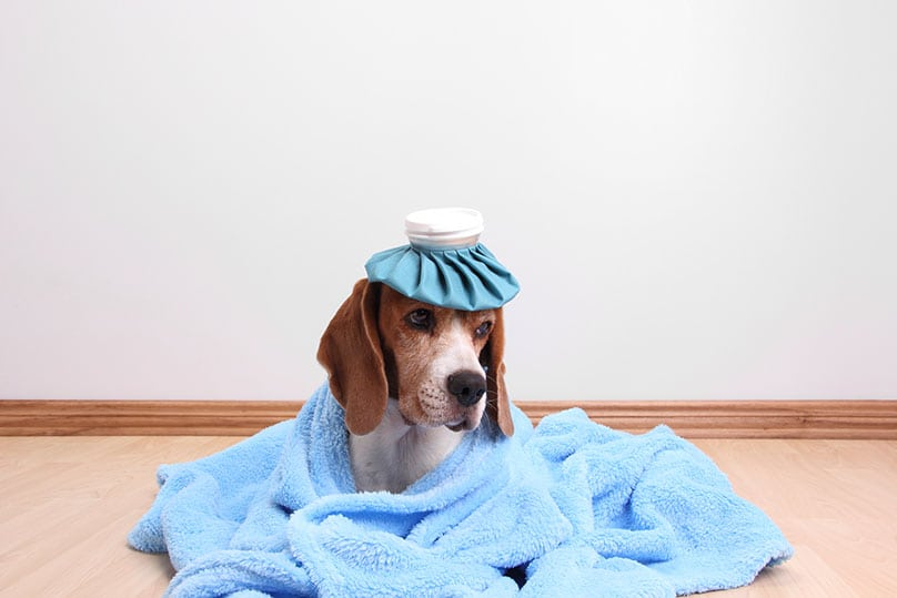 Beagle with an ice pack on its head and a blanket around it