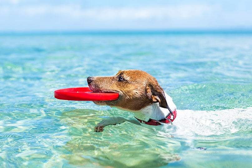 Jack Russell Terrier in the water with a frisbee in its mouth