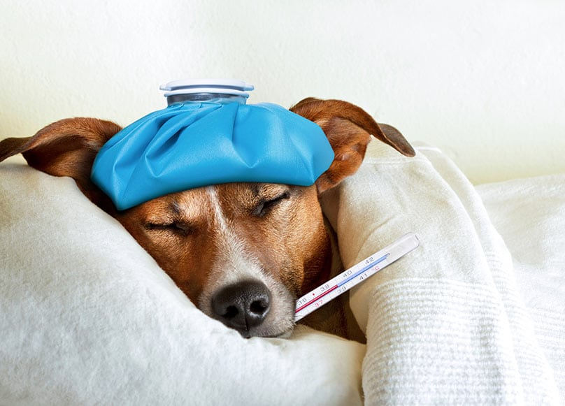 A Jack Russell Terrier laying in bed with an ice pack on its head and a thermometer in its mouth