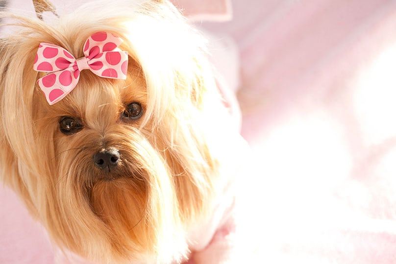 A female Yorkshire Terrier with a hair bow on its head