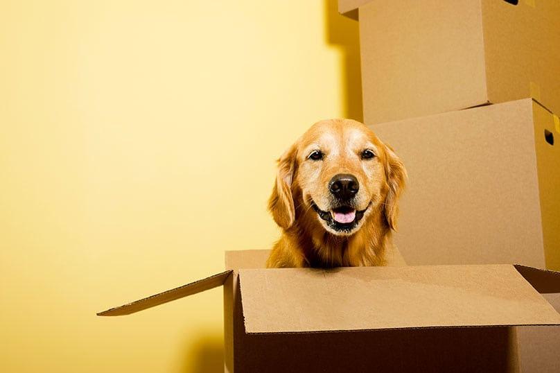 A happy Golden Retriever in a cardboard box