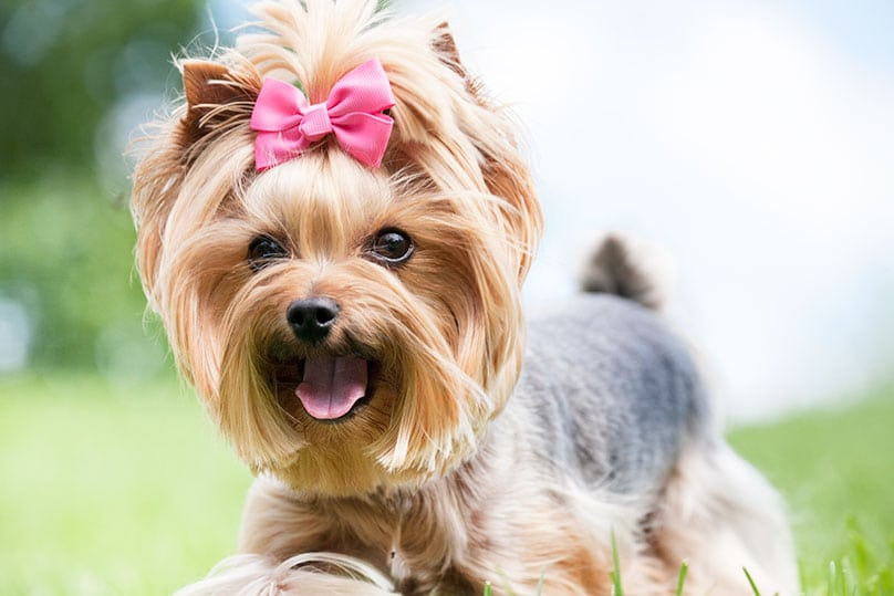 A happy Yorkshire Terrier with a pink hair bow on its head