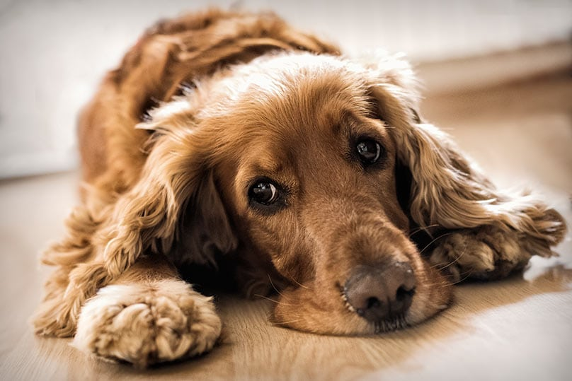 A lethargic Cocker Spaniel laying down on a wooden floor