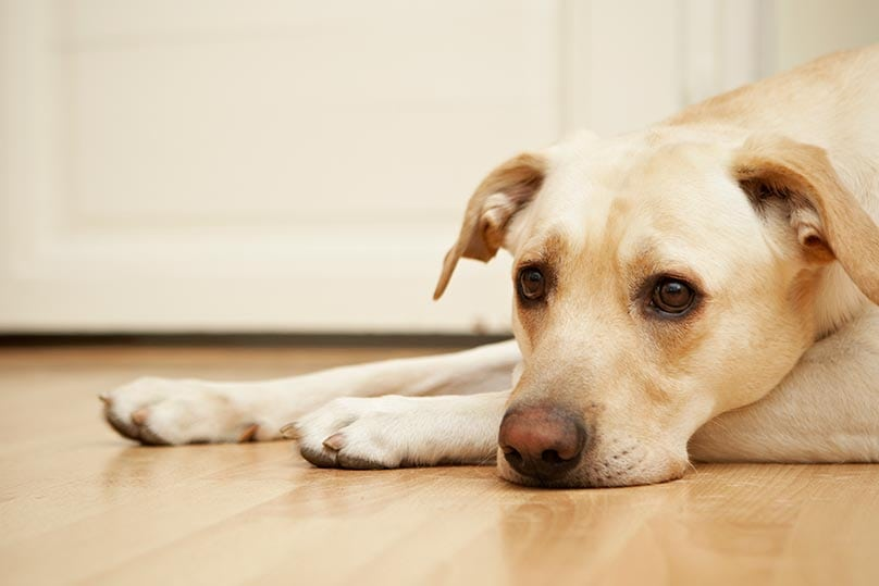 Yellow Lab strewn lazily on the floor