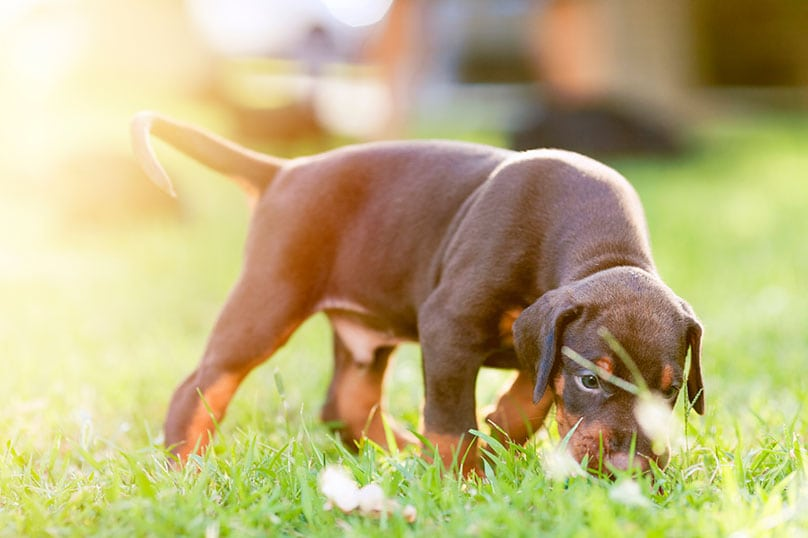 Doberman puppy sniffing grass