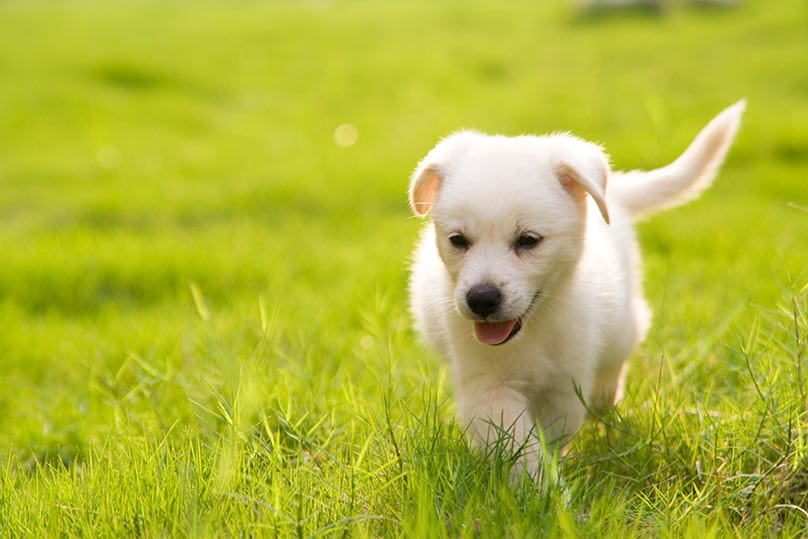 A Labrador Retriever puppy strolling happily on grass