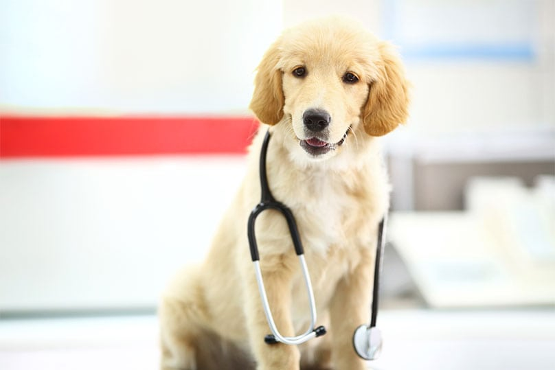 A Golden Retriever puppy with a stethoscope around its neck