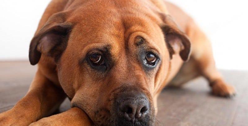 Dog on hardwood floor looking sad