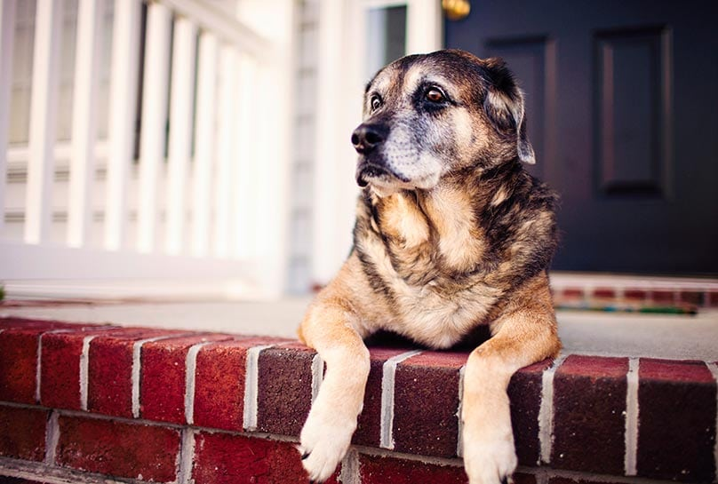 A senior dog laying on the front porch of a house
