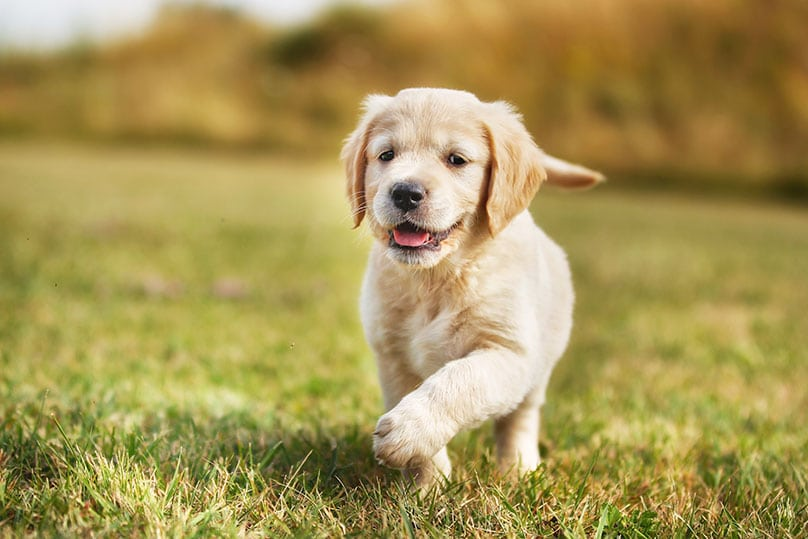 A Golden Retriever puppy strolling on grass