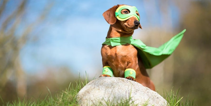 A Dachshund dressed as a superhero