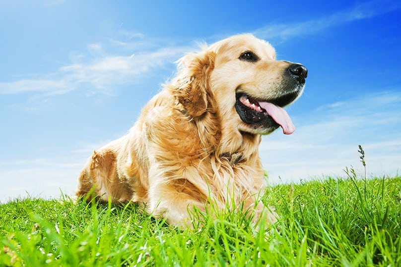 Golden Retriever laying on grass