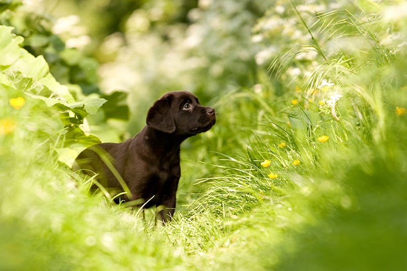 A dark Labrador puppy in a field of grass