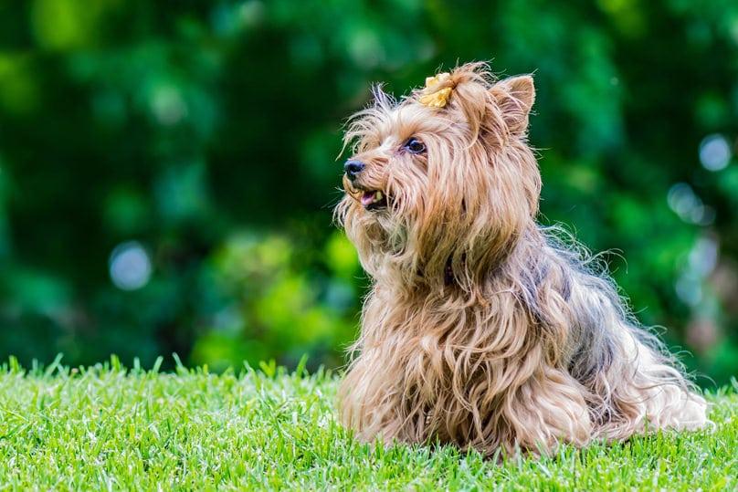 Pyometra in dogs