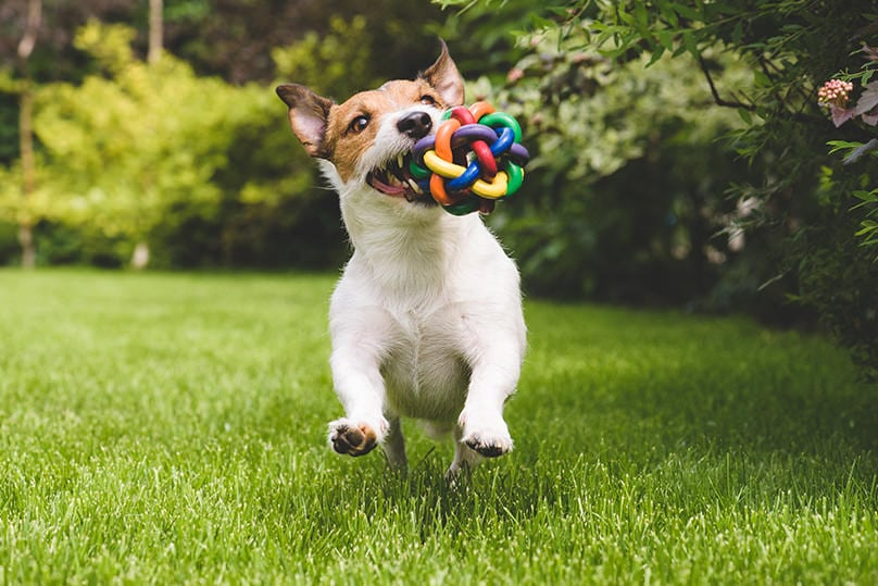Jack Russell running around with colorful chew toy